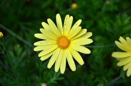Yellow daisy got wet by rain drops.