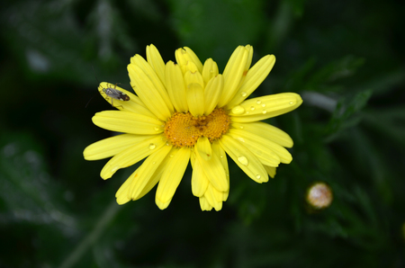 Insect on daisies that got mutation. Stock Photo