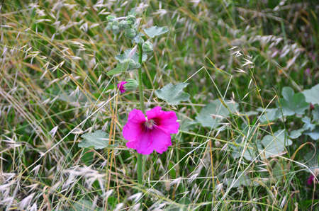 Pink colored wild petunia stands alone. Stock Photo