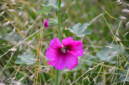 Bee searches on pink petunia.