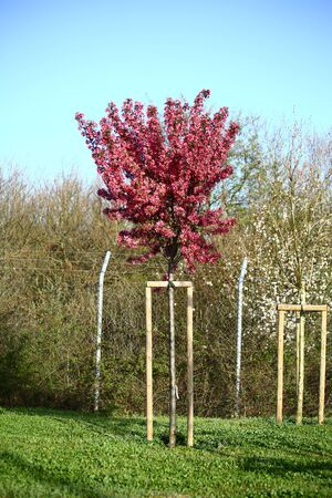 cultivated land: Red colored plum trees on cultivated land. Stock Photo