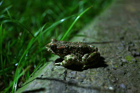 Green frog is in garden at night.