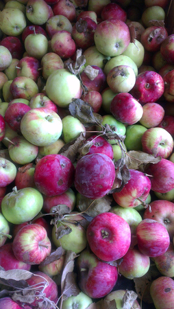 Completely organic apples are on grocery shelf. Stock Photo