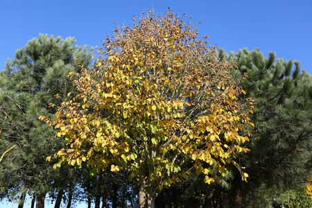 Colorful leafs are covering the branches of plane tree.