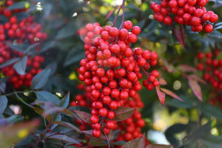 Guelder-rose branch seems very attractive with nice red color.