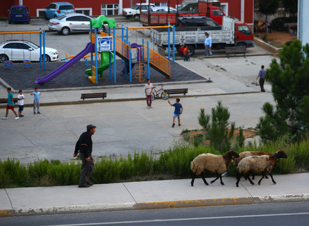 Pendik, Istanbul, Turkey , September 15  2016: Old shepherd walks with his sheep in the city. He did not achieve to sell these sheep for Eid al Adha for this year.