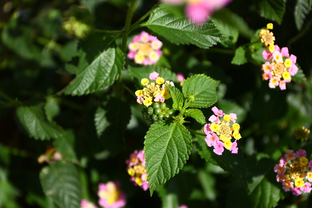 Unripe blackberries are on its branches with its flowers.