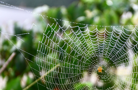 European garden spider waits for some food on its web.