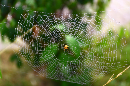 araneidae: European garden spider waits for some food on its web.