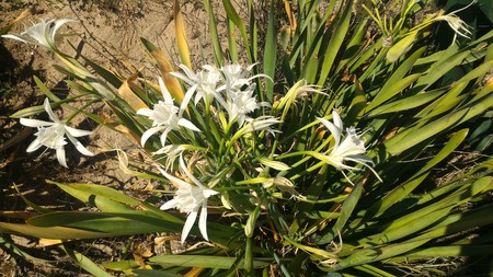 Pancratium maritimum is a plant that also called as Sand Daffodil, is very rare endemic plant. It is Turkey's endemic plant. Stock Photo