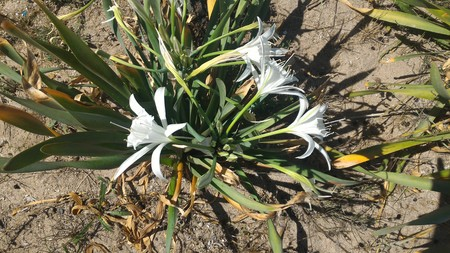 Pancratium maritimum is a plant that also called as Sand Daffodil, is very rare endemic plant. It is Turkey's endemic plant.