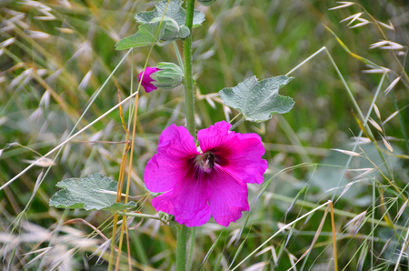 Pink colored domestic bellflower, called as campanula, from Blacksea region. Stock Photo