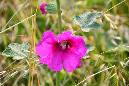 Pink colored domestic bellflower, called as campanula, from Blacksea region. Banco de Imagens