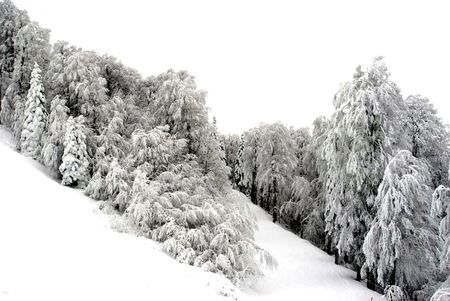 Pine trees are under snow down from the hill.