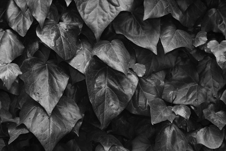 Lots of leafs covered wall shot as black and white.
