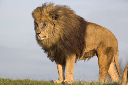 undomesticated: male lion surveying surroundings