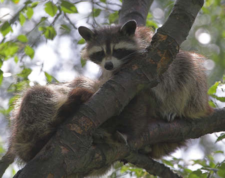 Racoon climbing in a tree