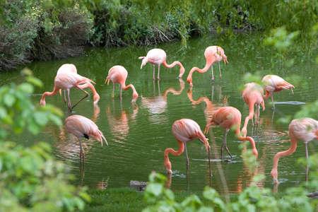 wade: Flamingoes feeding at waterhole