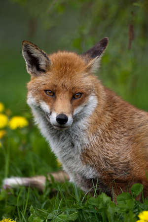 animal fox: Red Fox in British Countryside