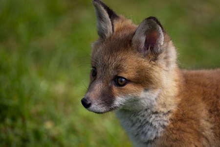 urban wildlife: Red Fox in British Countryside