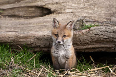 fox fur: Red Fox in British Countryside