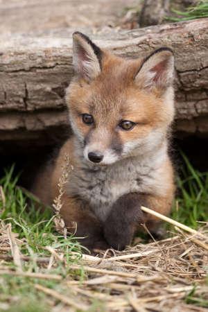 zorro: Red Fox en British Campo Foto de archivo