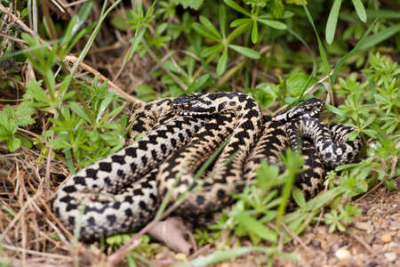 Adders coiled together in the grass photo