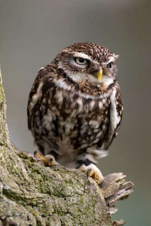 athene: Little Owl perched on a branch