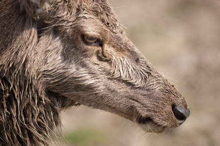 Close up of a moulting red deer Stock Photo - 4726806