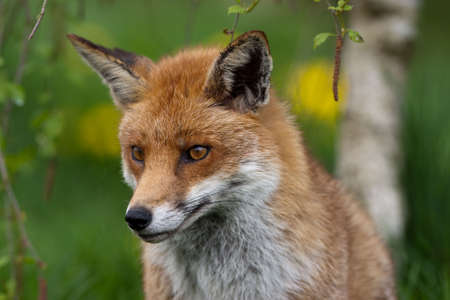 english countryside: Red Fox in British Countryside