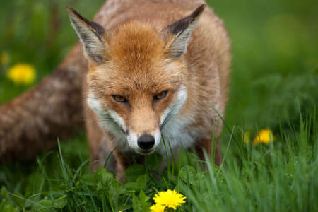 volpe rossa: Red Fox in British Campagna Archivio Fotografico