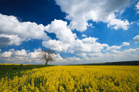 bio diesel: English countryside Oilseed Rape crop and blue sky