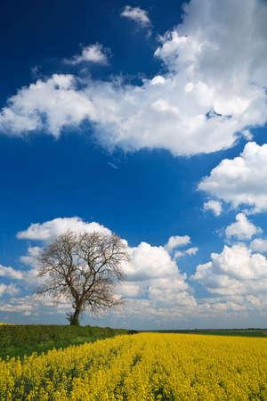 oilseed: English countryside Oilseed Rape crop and blue sky