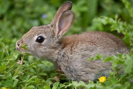 Pareja de conejo silvestre en el campo Inglés