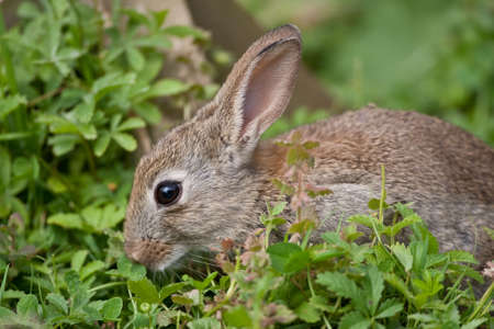 Young wild Rabbit in the English countryside photo