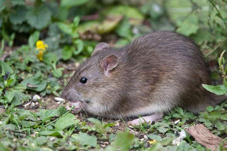 rata: Silvestre Brown Rata comer semillas y grano
