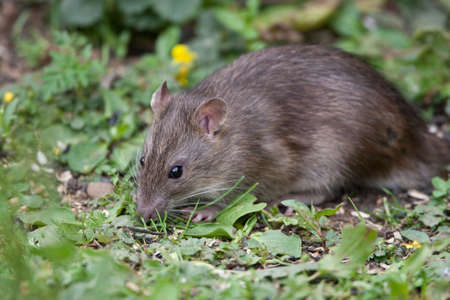 plaga: Silvestre Brown Rata comer semillas y grano