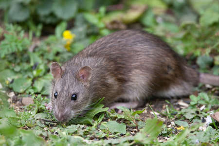 Wild Brown Rat eating seeds, and grain photo