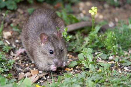 rats: Wild Brown Rat mangiare i semi e il grano Archivio Fotografico