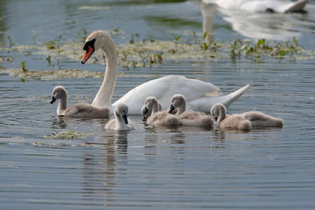 Swan swimming with Signets on the water