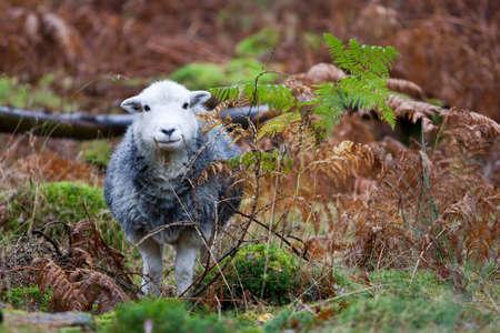 cumbria: Herdwick sheep in  bracken woodland