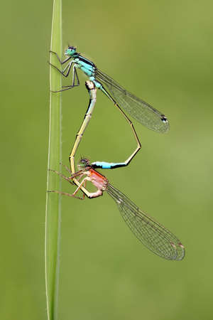 zygoptera: Damselflies (zygoptera) Stock Photo