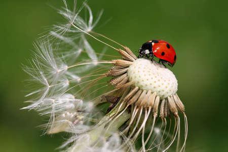 coccinellidae: Ladybird (coccinellidae) Stock Photo