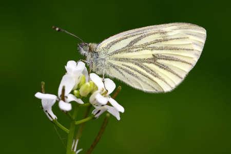 pieris: Butterfly (pieris napi) Stock Photo