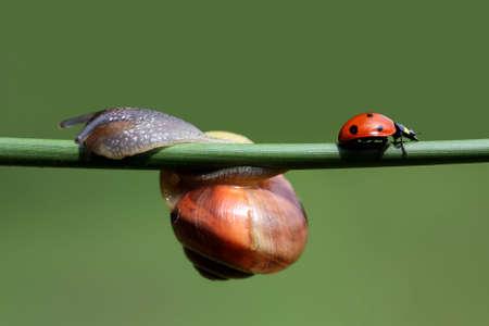coccinellidae: Snail and ladybug