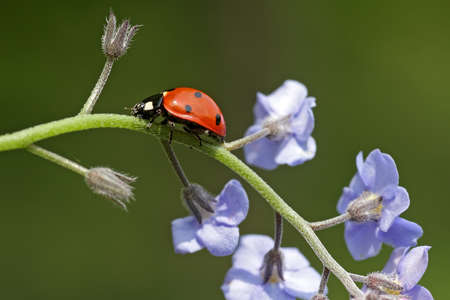 coccinellidae: Ladybird (coccinellidae) Stock Photo