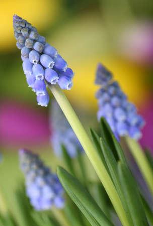 Flowers (grape hyacinth, Muscari botryoides) with beautiful, colorful background Standard-Bild
