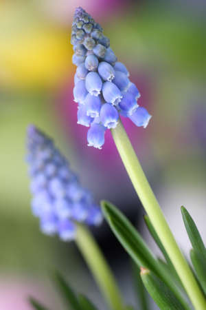 Grape hyacinth flowers with beautiful, colorful background photo