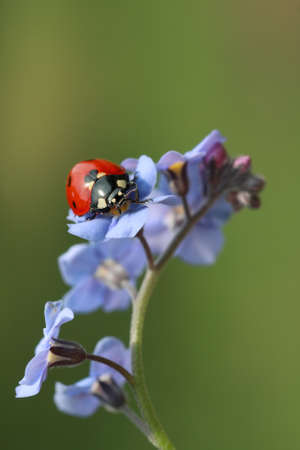 coccinellidae: Ladybug (coccinellidae) on forget-me-not flower with copy space (Myosotis)
