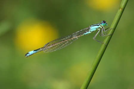 zygoptera: Blue-tailed Damselfly (Ischnura elegans) Stock Photo